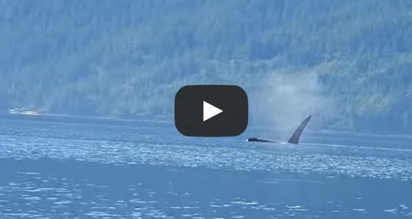guest-video-Johnstone Strait Orca Watching