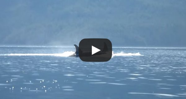 guest-video-Orcas Passing Robson Bight Ecological Reserve