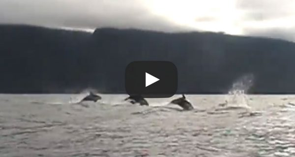 guest-video-White sided Dolphins - British Columbia